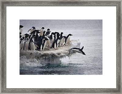 Adelie Penguin Pygoscelis Adeliae Framed Print by Tui De Roy