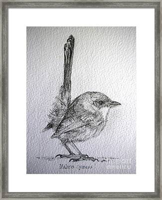 Adolescent Blue Wren Framed Print
