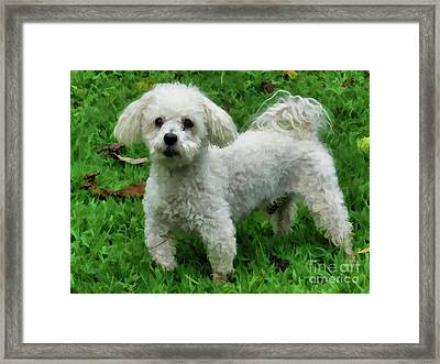 Adorable Bichon  Framed Print by Lanjee Chee