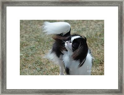Adorable Black And White Japanese Chin Dog Framed Print by DejaVu Designs