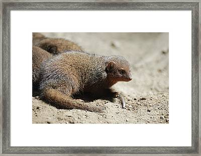 Adorable Face Of A Dwarf Mongoose Framed Print