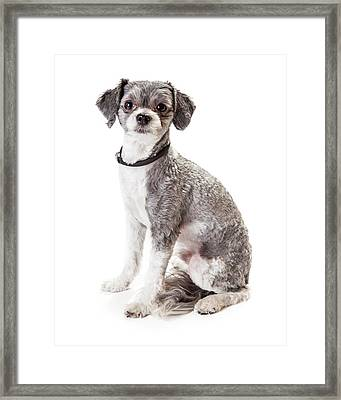 Adorable Havanese Crossbreed Dog Sitting Framed Print by Susan Schmitz