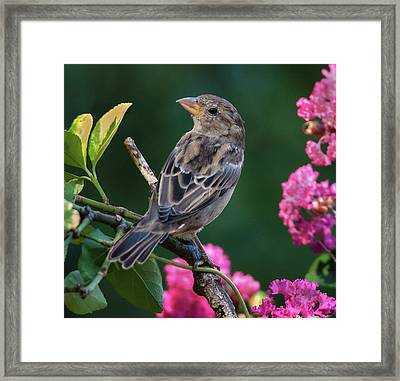 Adorable House Finch Framed Print by Jim Moore
