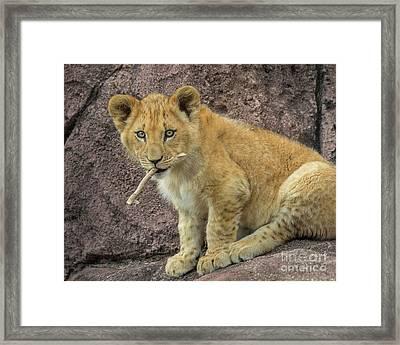 Adorable Lion Cub Framed Print