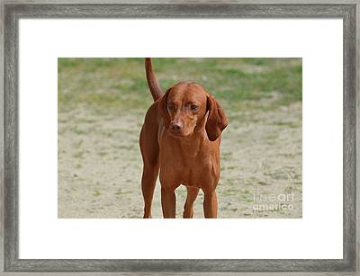 Adorable Redbone Coonhound Standing Alone Framed Print