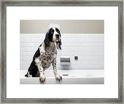 Adorable Springer Spaniel Dog In Tub Framed Print by Susan Schmitz