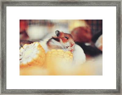 Adorable Tiny Hamster Pet Feasting On Corn Framed Print