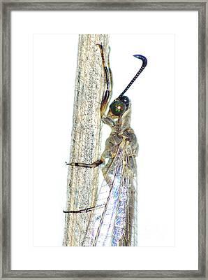 Adult Ant Lion Framed Print