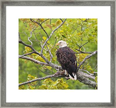 Adult Bald Eagle Framed Print
