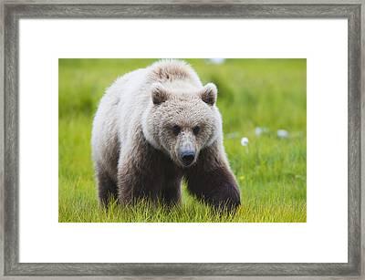 Adult Brown Bear Walking Amongst Framed Print by Lorraine Logan