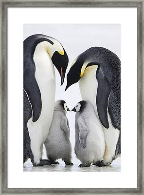 Adult Emperor Penguins  Aptenodytes Framed Print