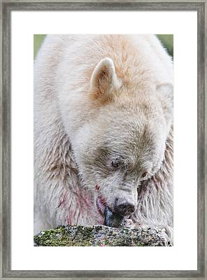 Adult Kermode Bear With Salmon Framed Print by Melody Watson