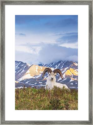 Adult Ram Dall Sheep Resting Framed Print by Michael Jones