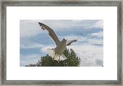 Adult Seagull In Flight Framed Print