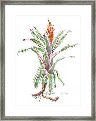 Aechmea Orlandiana 'ensign' Framed Print by Penrith Goff