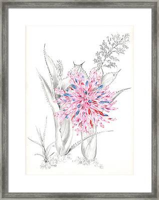 Aechmea Purpureorosea Framed Print by Penrith Goff