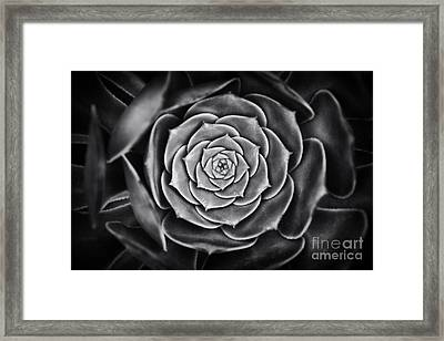Aeonium Arboreum Framed Print by Tim Gainey