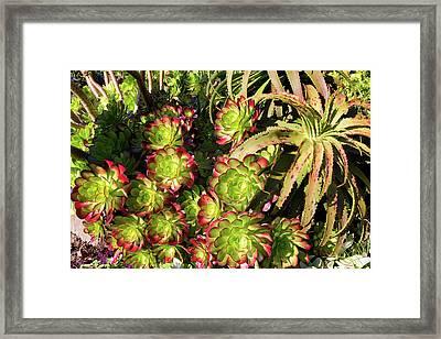 Aeonium Cyclops And Aloe Vaombe  Framed Print