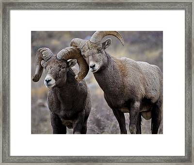 Affectionate Rams Framed Print by Kevin Munro
