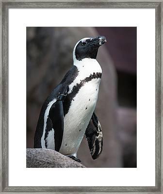 Africa Penguin Framed Print