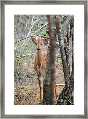 Africa Safari Bushbuck 2 Framed Print