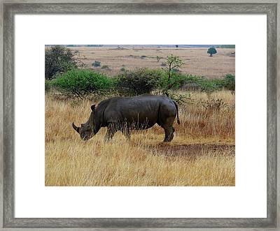 African Animals On Safari - One Very Rare White Rhinoceros Right Angle With Background Framed Print