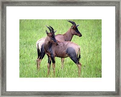 African Antelopes Framed Print