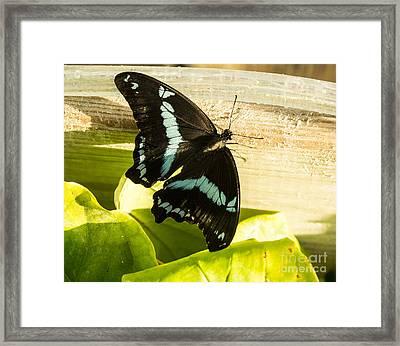 African Blue-banded Butterfly Framed Print by Steven Parker