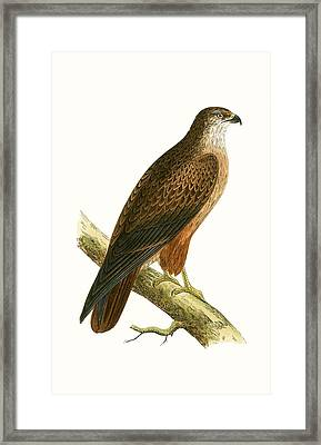 African Buzzard Framed Print by English School