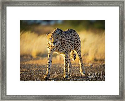 African Cheetah Framed Print by Inge Johnsson