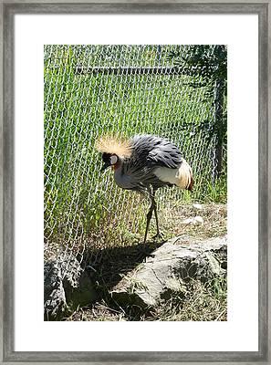 African Crowned Crane Framed Print