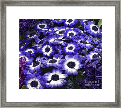 African Daisy Purple And White Framed Print