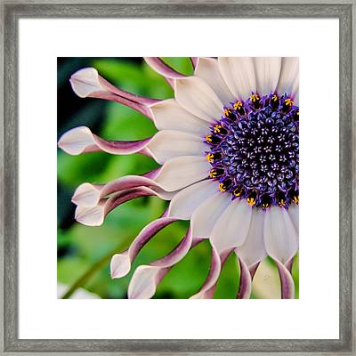 African Daisy Squared Framed Print by TK Goforth