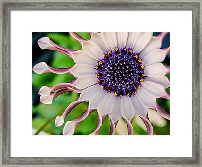 African Daisy Framed Print by TK Goforth