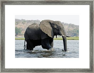 African Elephant - Bathing Framed Print by Robert Shard