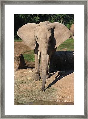 African Elephant-0164 Framed Print