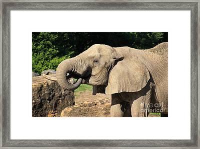 African Elephant-0182 Framed Print