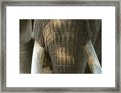African Elephant At The Omaha Zoo Framed Print