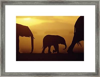 African Elephant Loxodonta Africana Framed Print by Karl Ammann