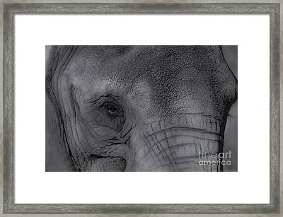 African Elephant One Eye View Black And White Framed Print