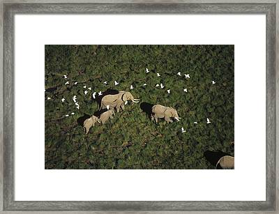 African Elephant Parents And Two Calves Framed Print