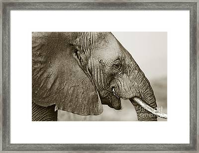 African Elephant Profile  Duotoned Framed Print