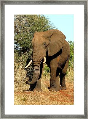 Framed Print featuring the photograph African Elephant by Riana Van Staden