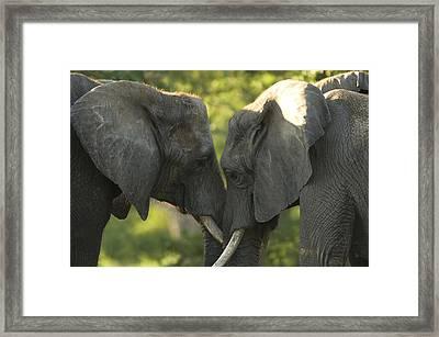 African Elephants Loxodonta Africana Framed Print by Joel Sartore