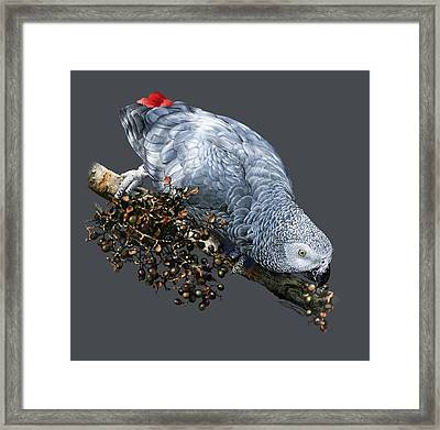 African Grey Parrot A Framed Print by Owen Bell
