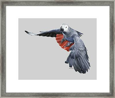 African Grey Parrot Flying Framed Print by Owen Bell