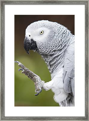 African Grey Parrot Framed Print by Malisa Nicolau