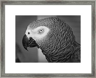 African Grey Parrot Framed Print