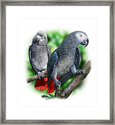 African Grey Parrots A Framed Print by Owen Bell