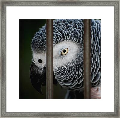 African Grey Framed Print